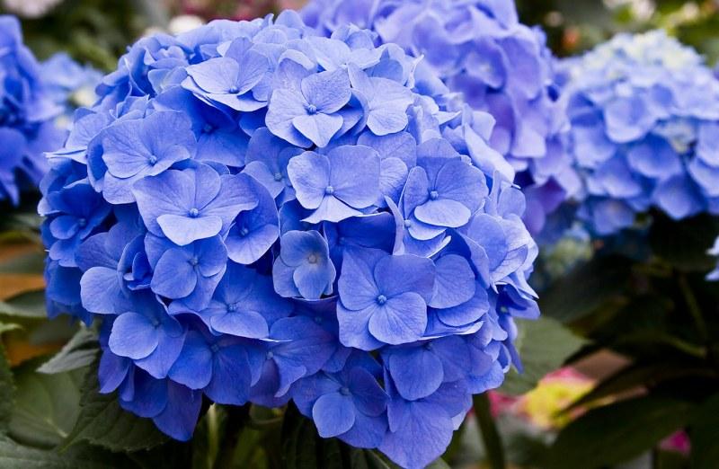 Sedgefield-Inc_Seasonal-Flowers_Hydrangea
