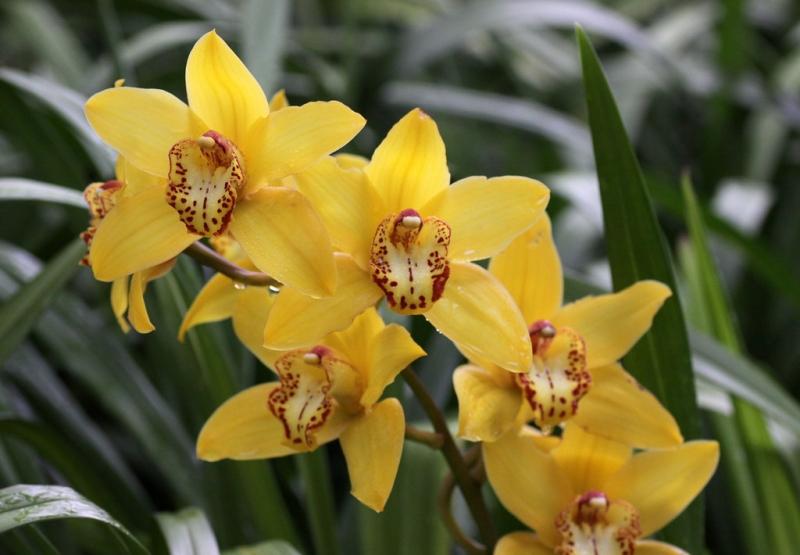 Cymbidium orchid (hybrid) at Kew Gardens